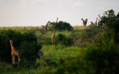 giraffes on the wild