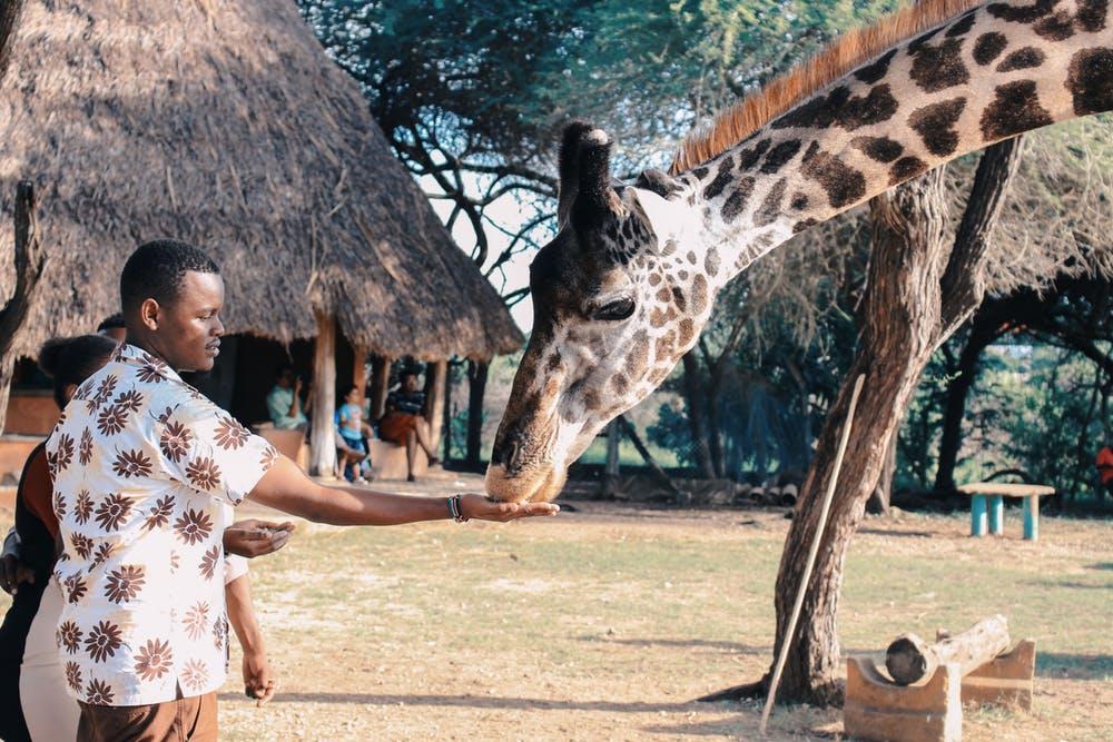 man feeding a giraffe on the wild